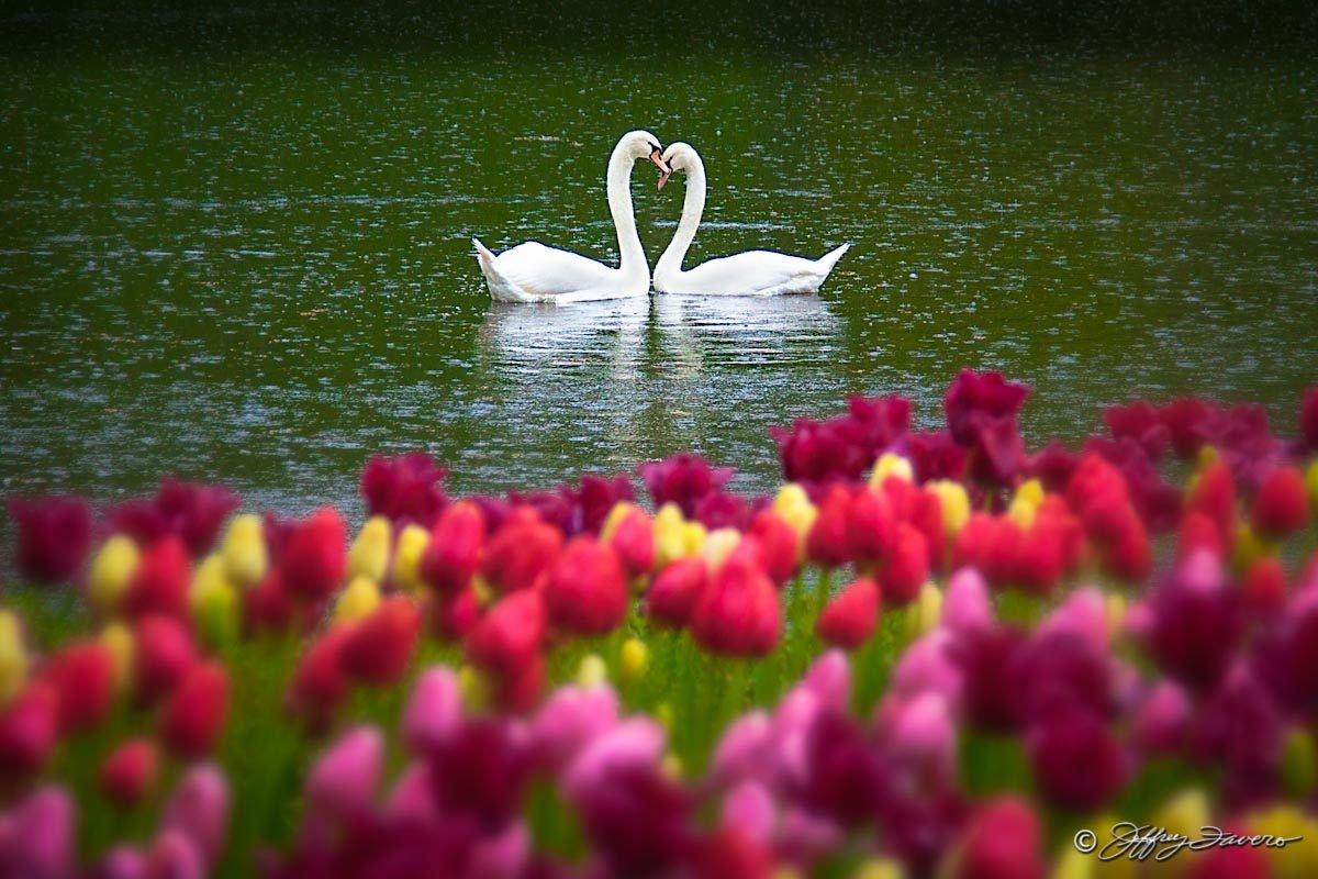 Лебеди с цветами картинки