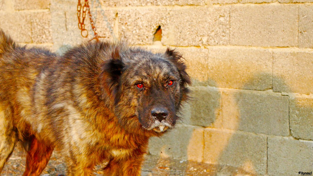 https://www.instagram.com/p/B03Ay5lFTcr/?igshid=a5vagu26plcg… #brindle #brindledog #brindleanatolian #çapar #karayaka #karayakaçobanı #molosser #molosserdogs #molossoide #primitivedog #aboriginaldog #16x9_dogs #localdogbreed #7DM2 #dogsoftwitter #500pxrtg #ThePhotoHour #400mmL #dailyphoto #PintoFotografíapic.twitter.com/AbTEeZ2d1f – at Tarsus