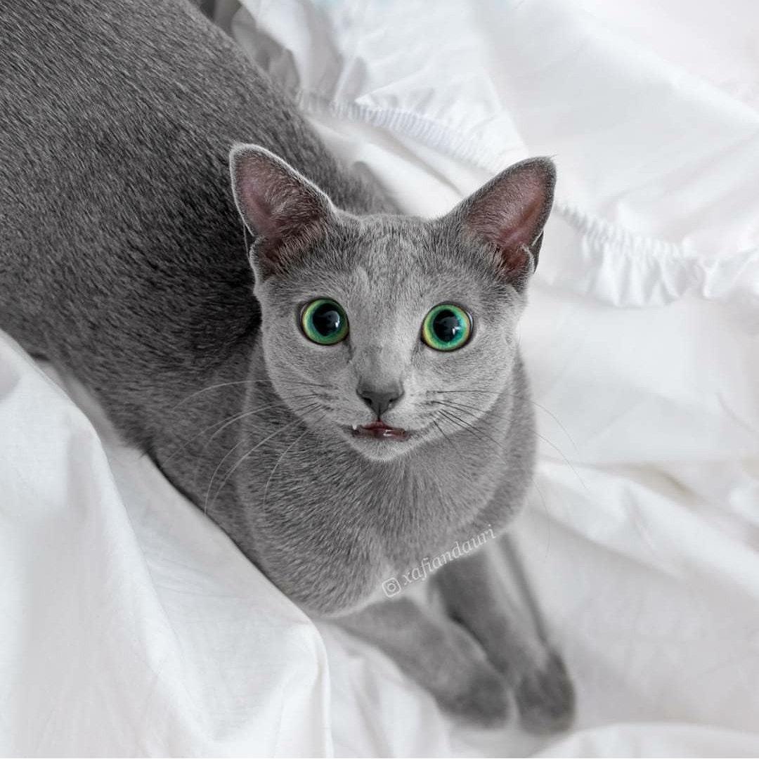 russian blue cat - HD1080×1080