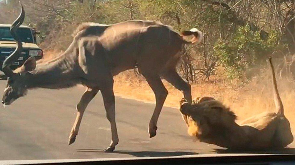 Qué imágenes. Frente a la mirada de turistas en safari, captan a león cazando a antílope  (VIDEO) http://bit.ly/2YztmMH