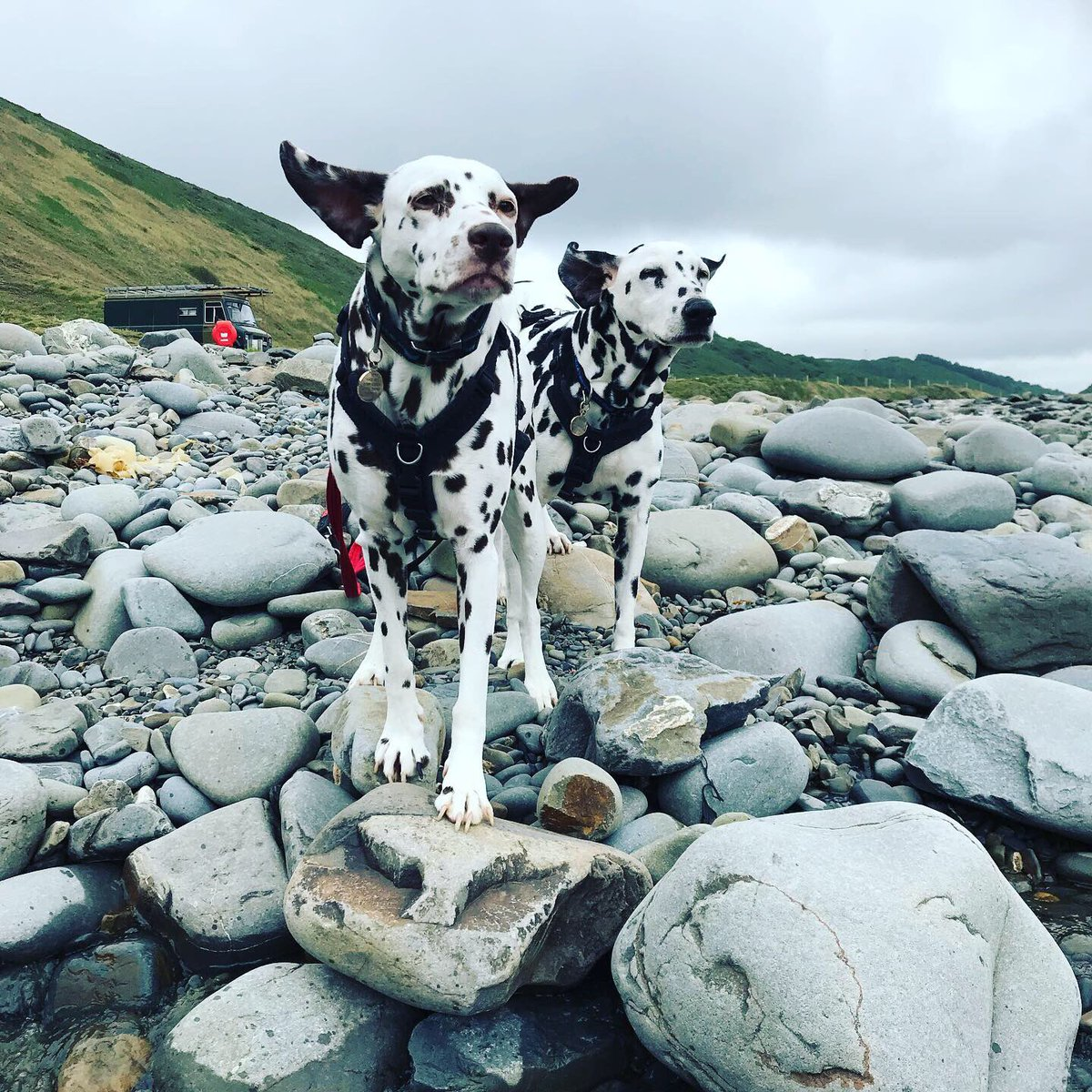 Holidays are not good for painting!!! We're back now and ready to paint!!! #cornwall #cornwallcoast #dalmatian #camping #beach #seaside #dog https://t.co/cQRPOGk9CZ