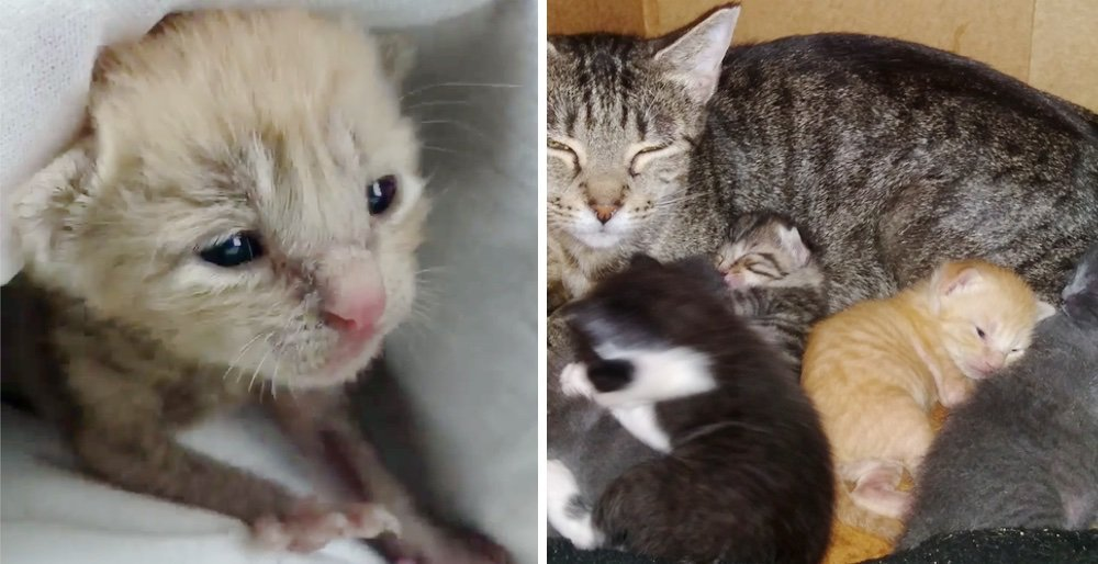 Kitten who was rescued alone on a rainy day, cant stop purring when he finds a family he needed. See full story and updates: lovemeow.com/kitten-rescue-…