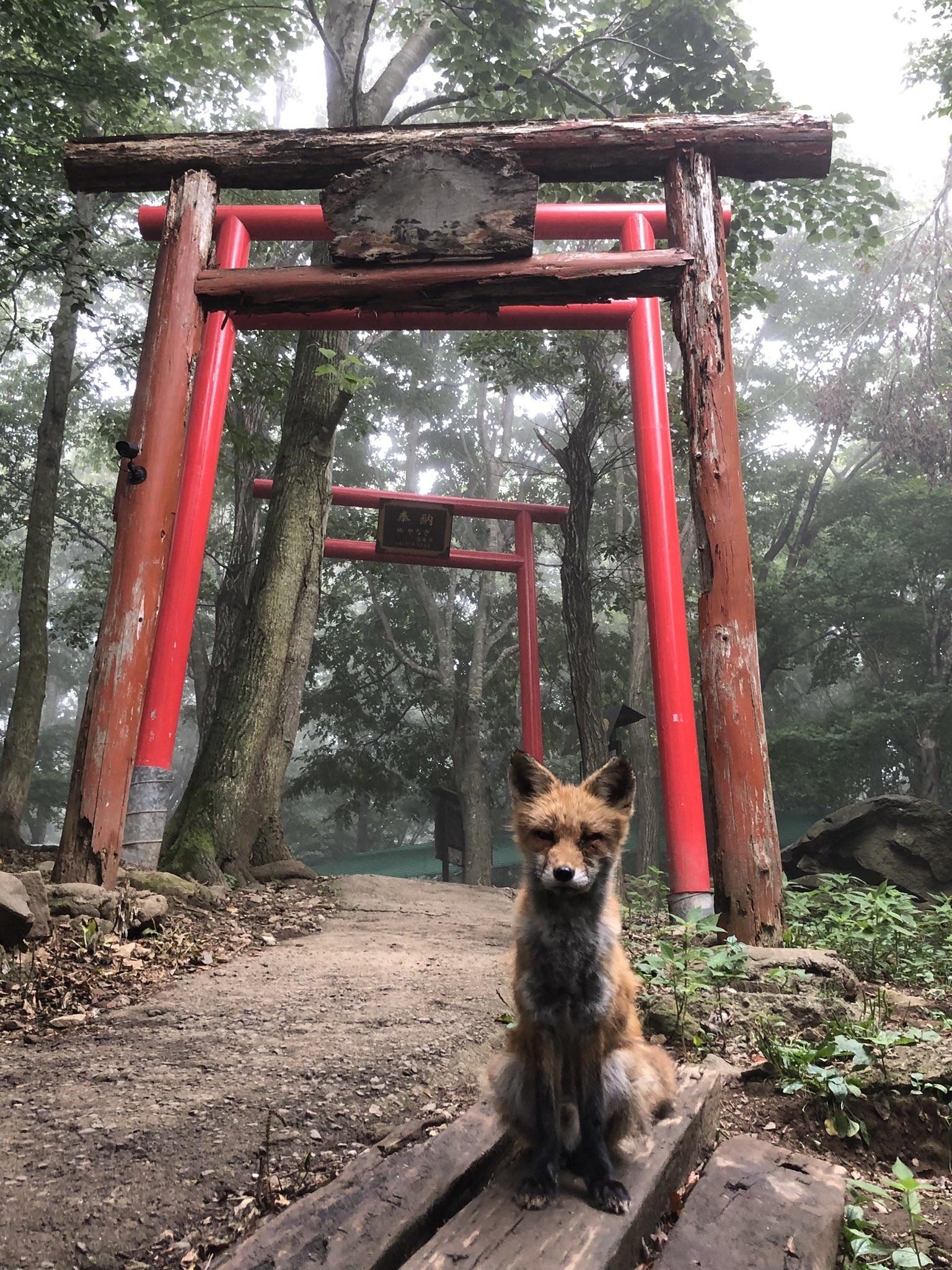 昨日の奇跡的な狐・稲荷神社・霧のコラボ。 狐さんは写真撮りやすいように角度変えていろんなポーズしてくれた。神。いや、神の使いか。