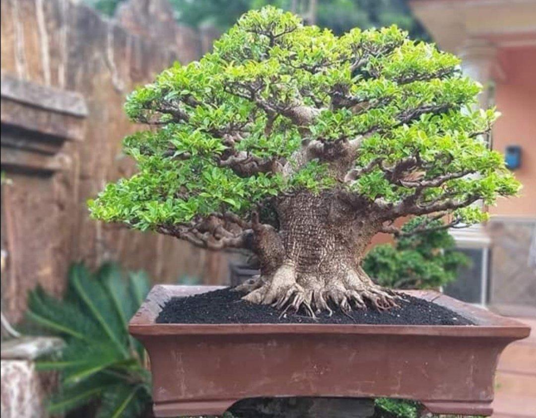 Thanh trener randkowy bonsai