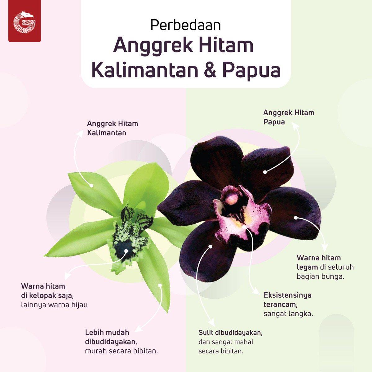 76+ Gambar Anggrek Hitam Kalimantan Paling Hist