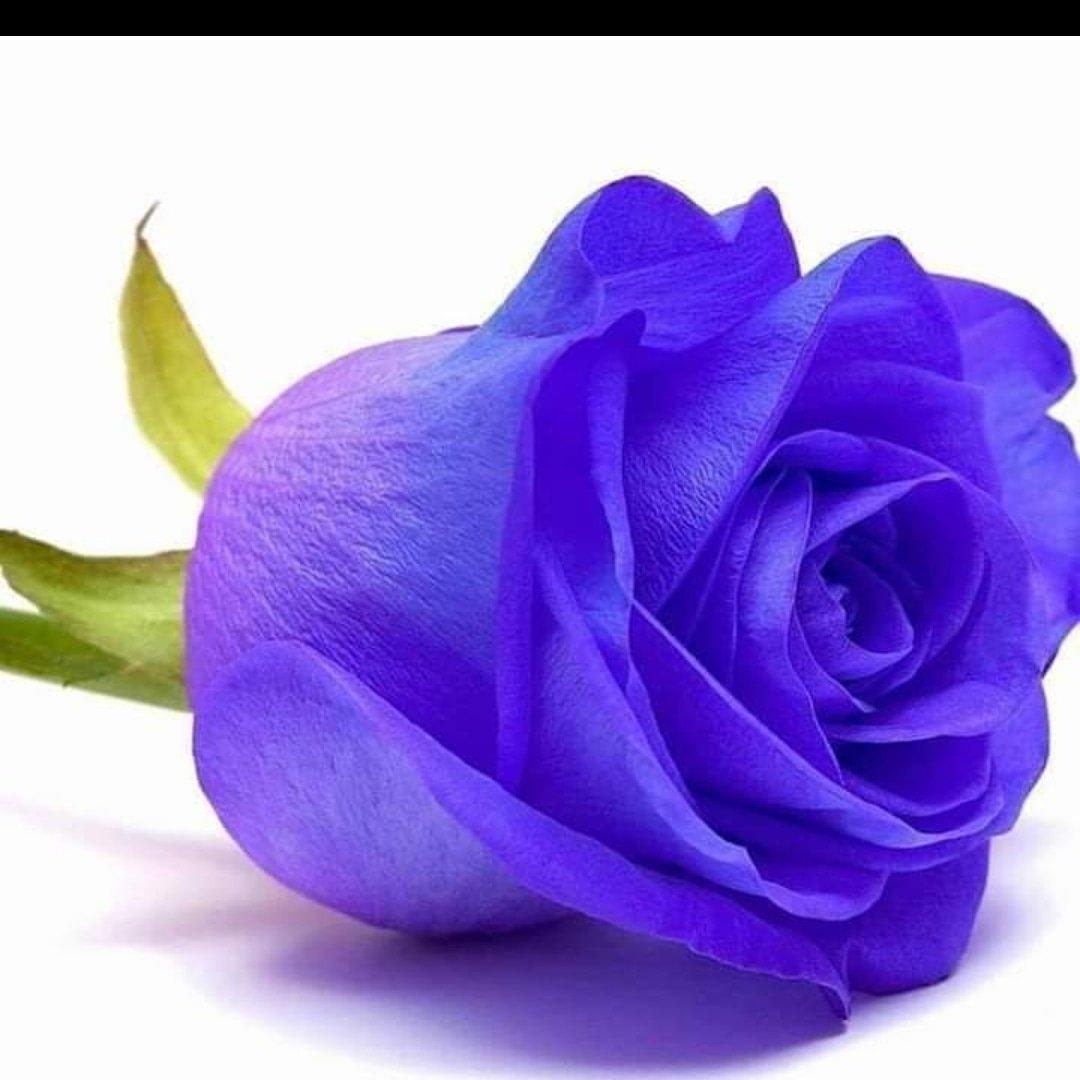 Картинки фиолетовые розы на белом фоне