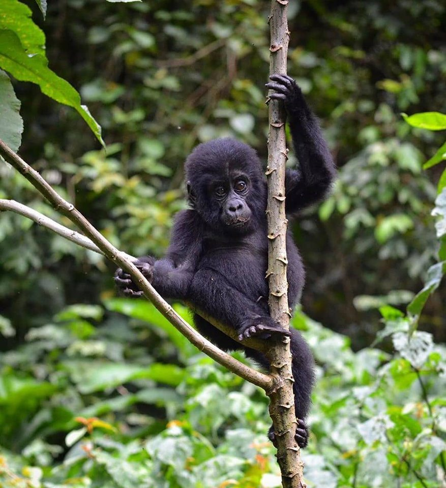 Uganda Gorilla safaris is tiring but worth it! It gives you chance to enjoy the same environment with the majestic apes for about an hour. https://t.co/pL5kNxRJts https://t.co/aBtBPkgWjC https://t.co/QezzueWCjG #Rwandagorillasafari #GorillasafariRwanda #Rwandagorillatour https://t.co/ZIKKLeOYzd