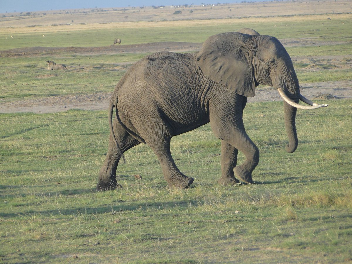 #WorldElephantDay @kenyapics lets protect these Beautiful creatures  Photo taken at Amboseli