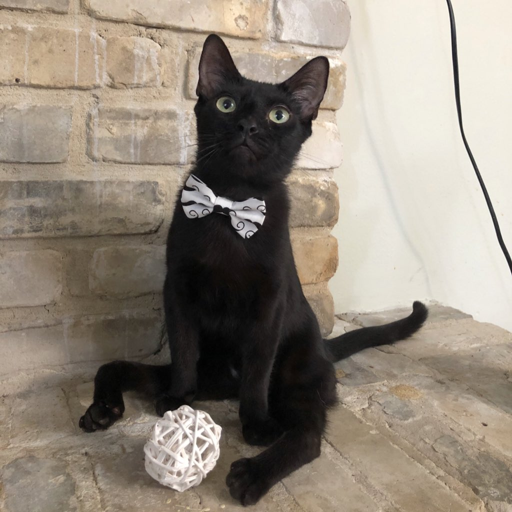 Keeping it dapper when not on an adventure  #MondayMood #CatsOfTwitter #cats #cat #panfur #bowtie #handsome #pet #petstagram #catsofinstagram #catsoftheday #blackcat #KittyLove<br>http://pic.twitter.com/qF1vAQ4ZDd