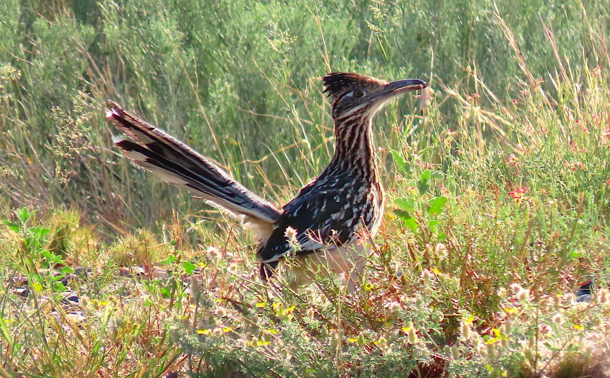 Because you can never get enough roadrunner content: https://t.co/Z0GLa8AWKW  Or: Thoughts on watching birds while hopping fences, dodging traffic, and declining drug deals.  It's all at The @ABA Blog this morning!  @urbanbirder @urbanbirding @UrbanBirdingUBC https://t.co/TxXdXMxnkv