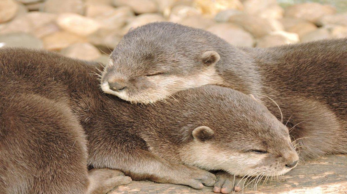Jen Gentleman On Twitter Fellow Otter Lovers