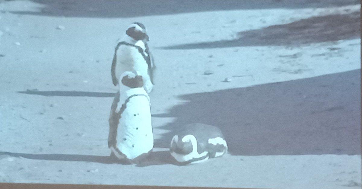 Pick real vs. clay penguin..... #Art meets #science! Using model penguins to encourage endangered African Penguin colonisation  @ new sites #IPC10 @SANCCOB @rmcint16 @PhillipIslandNP<br>http://pic.twitter.com/eeU6rYurXO