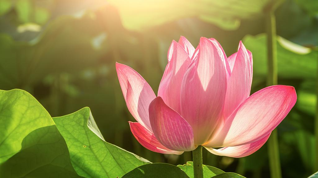 Chinas Flora Tour: Why do Chinese people love lotus? #FloraofChina #BeijingExpo #HorticulturalExpo bit.ly/2Ztgof2