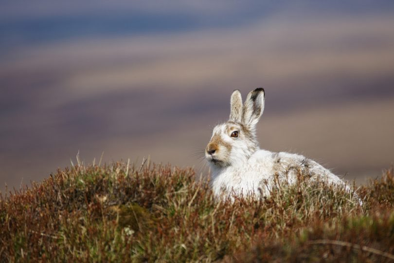'Shocking new evidence has shown the mountain hare – a true emblem of Scotland's wild places – has declined by over 90% in some sites managed for driven grouse shooting in spite of claims from the shooting industry that numbers remain healthy.' https://t.co/JQIdU9XWm3 @MarkAvery https://t.co/1pC3iI56VV