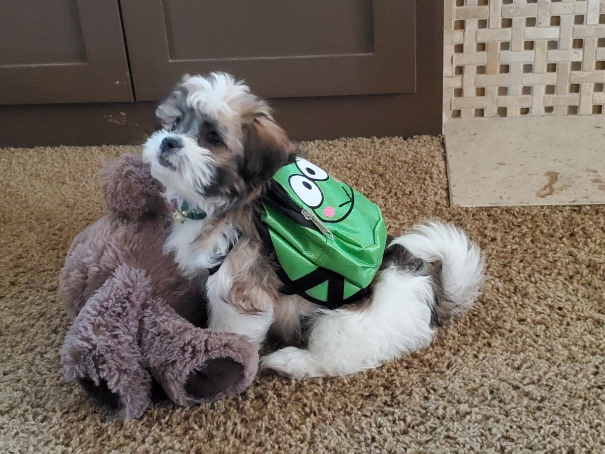 Here is my 13 week old pup named Yoshi ready for school. #mymorning