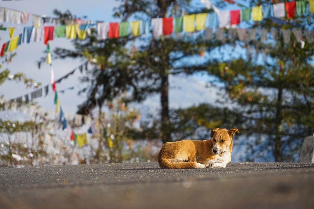 Dogs are sensitive and sentient beings that deserve our respect. Today, we celebrate #InternationalDogDay by remembering the dogs in our lives and the dogs that still need care. You can help by donating to Bhutan Animal Rescue and Care (BARC) today: