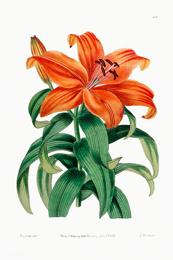Thunberg's orange lily from Edwards's Botanical Register (1829–1847) by Sydenham Edwards, John Lindley, and James Ridgway. Original from the Biodiversity Heritage Library. Digitally enhanced by rawpixel. Download this image: https://t.co/MODgpiqegp https://t.co/zgrhV9J6qc