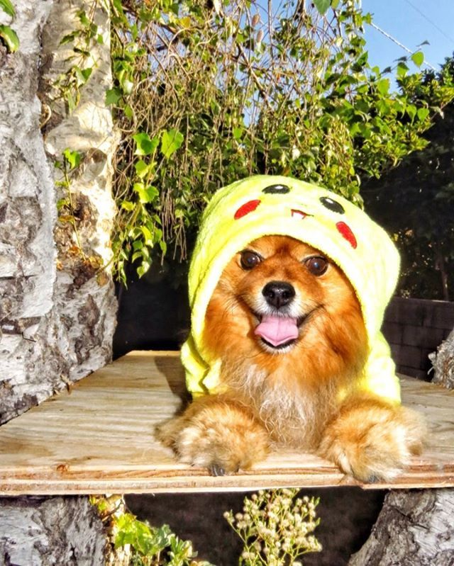 I want to be the very best dog there ever was! To see you smile is my test, to make you positive is my cause! Hope your Monday has good vibes! Woof woof! #pomeranianmania #dogloversunite #ilovemypomeranian #pompup_feature #pomsofinsta #pomerania… https://ift.tt/2Zry4fopic.twitter.com/FXJAQ0tT6o