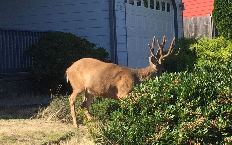 """there's three bucks known as """"the gang"""" in my neighborhood and they face no opposition for the last 3-4 years. as a result they're all fat as fuck. look at this plump-ass https://t.co/PC8wyWgMq1"""
