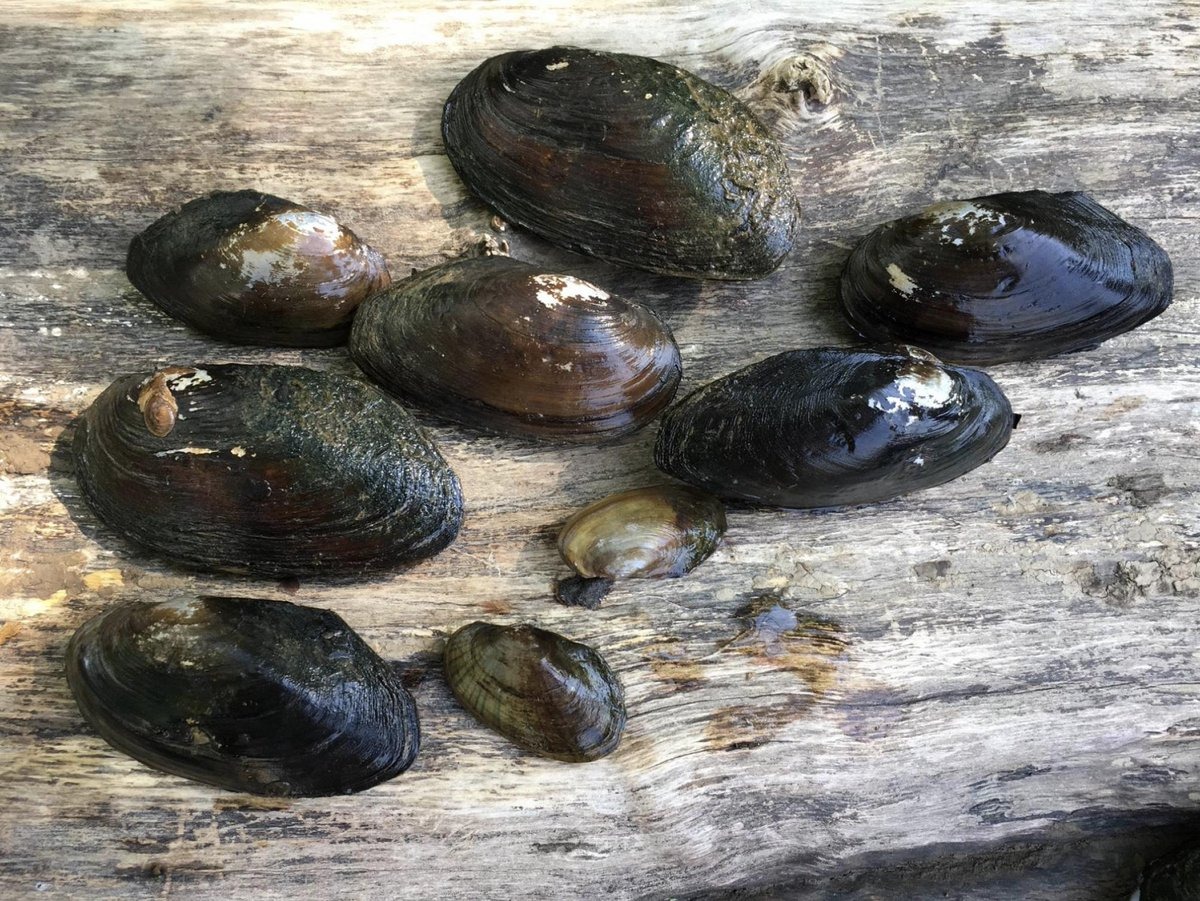 D.C. is adding freshwater mussels to the Anacostia River to help clean it