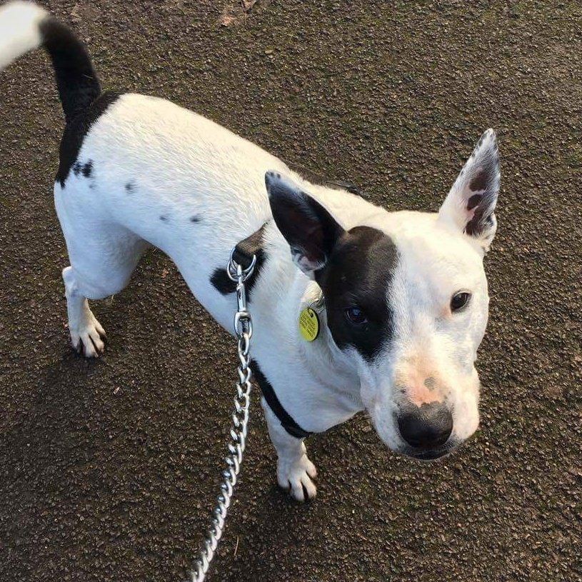 Good morning from Pirate Dave at Liverpool Dog Rescue ❤ hes been waiting 5 long years for his pawfect forever home. Needs to be pet and child free. Can you help? Call Lisa on 07455179155 or email at ldrtrustee@gmail.com #Liverpool #TeamZay #RESCUE #Letshearitfortheboys #adopt