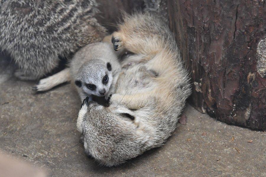 Картинки по запросу meerkat
