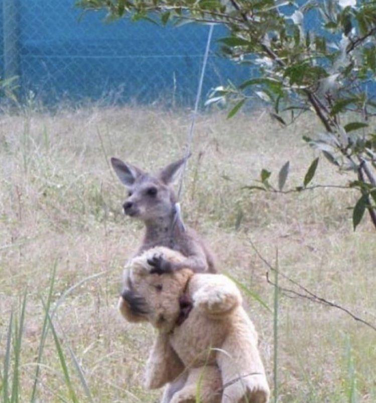 Pour éviter que ce bébé Kangourou tombe en dépression suite à la mort de sa mère, des employés d'un zoo ont opté cette solution ☹️