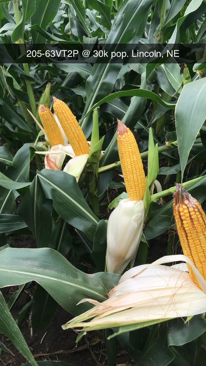 I know @brock_h21 gave us today off, but I couldn't miss an opprotuniry to post on a #FieldCheckUpFriday and showoff a little about this @ChannelSeed dryland 105 day hybrid!<br>http://pic.twitter.com/fnAq2r9It2