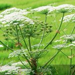Image for the Tweet beginning: #GiantHogweed causes 3rd degree burns