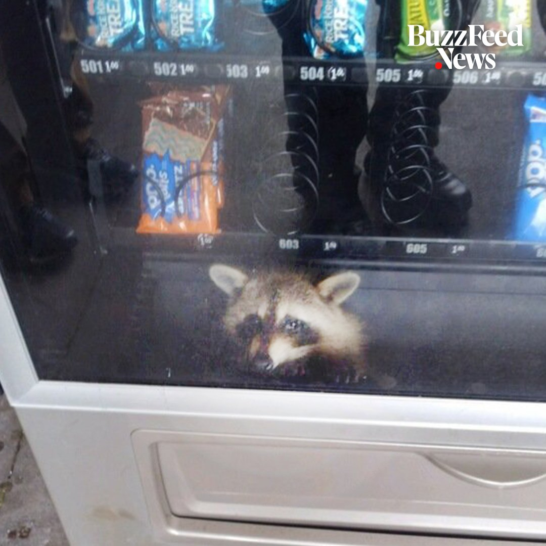 This raccoon got stuck inside a vending machine while looking for snacks 😂