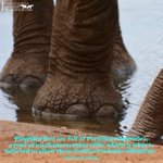 Image for the Tweet beginning: Happy #EleFunFactFriday!  Elephant feet are full