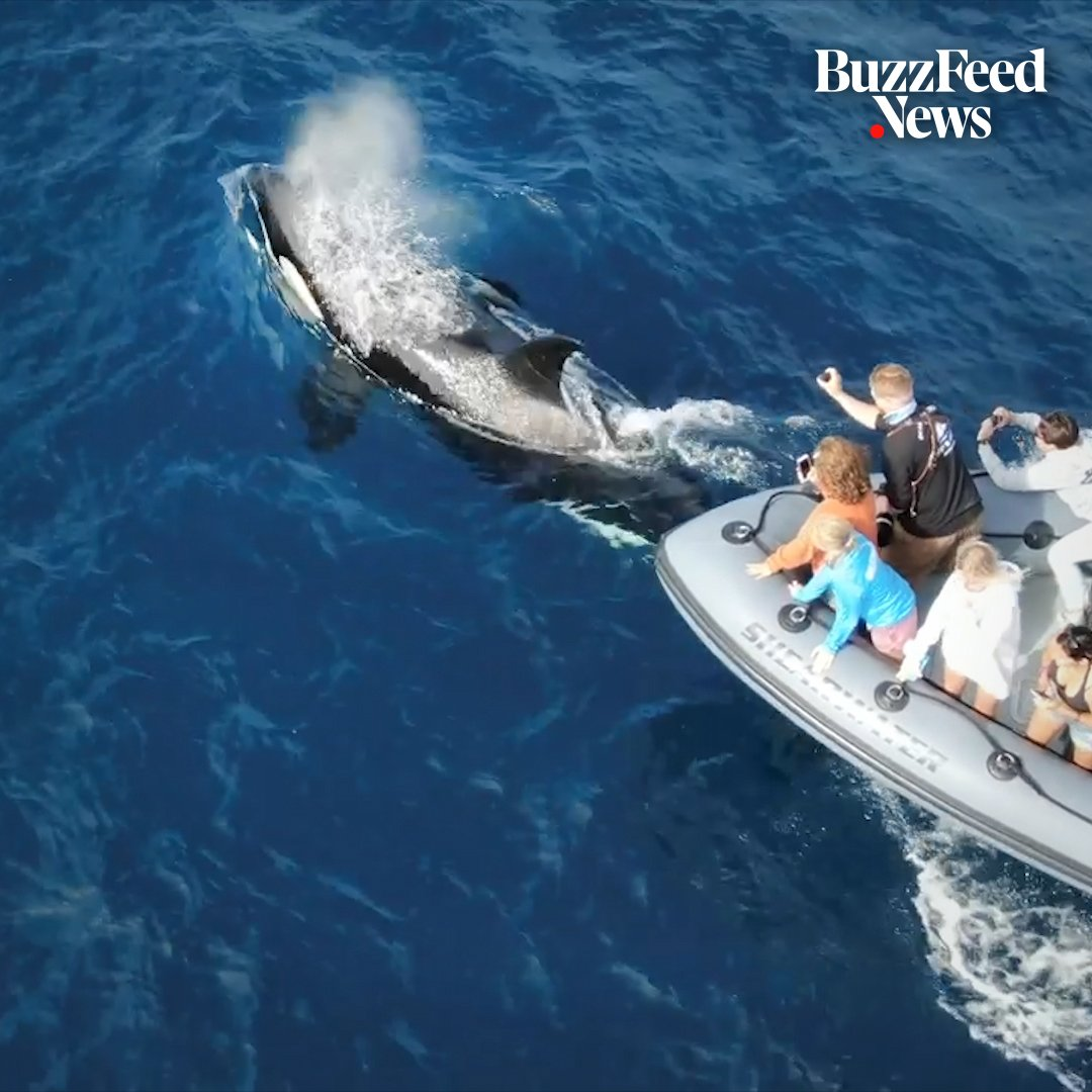 These whale watchers got a trip of a lifetime when a group of orcas started swimming around their boat 😍