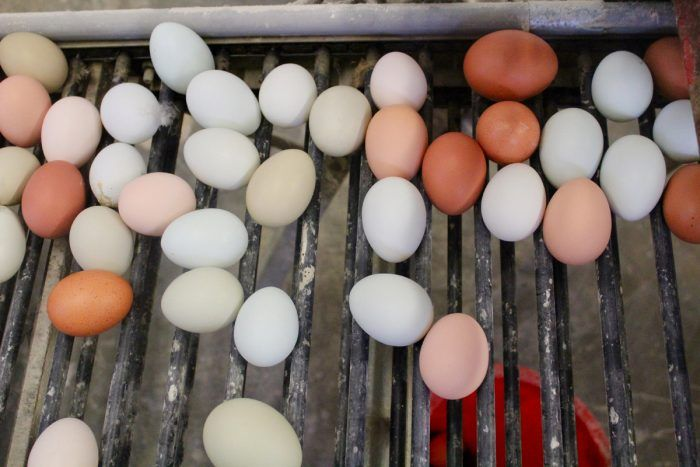 After a half century of increasingly industrialized egg production, its time to take another look at family egg farms as a model for leadership in health and animal welfare buff.ly/2z55kKA @lelanargi via @CivilEats