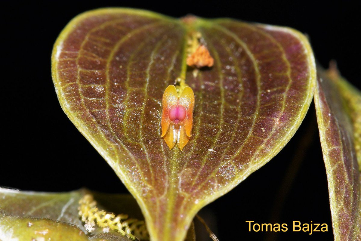 #Lepanthes #tortilis - #small #orchid species from Ecuador. Warm to cool growing with beautifully colored and shaped leaves and cute blooms. Thanks to its warm tolerance, its excellent for #Florida #orchid #growers. Very limited quantity available @ tarzanorchids.com