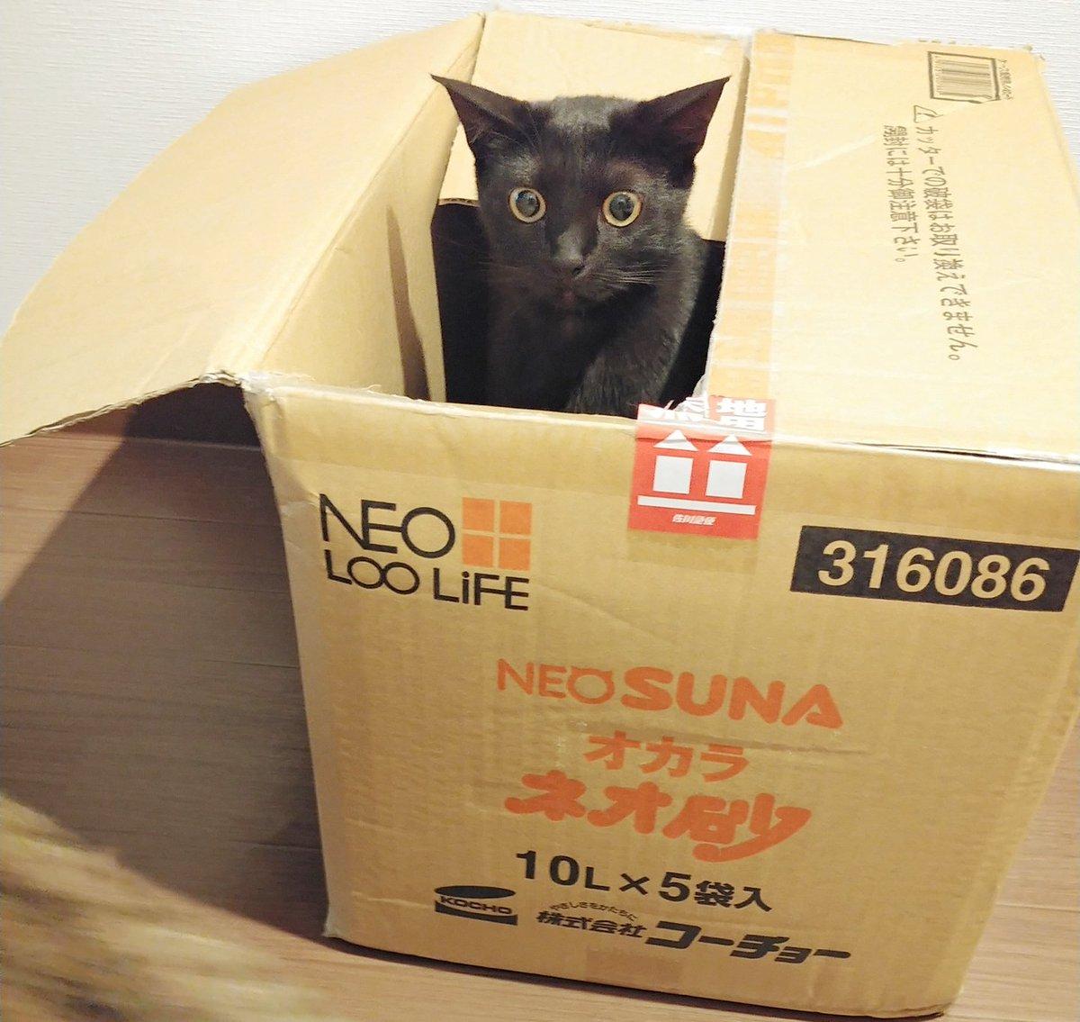 486日目。大きな段ボールが届いたので開封したところ、自分の使命とでも言わんばかりに箱へ飛び込む黒猫。箱ソムリエ・黒猫のお眼鏡にかなったのかそこそこ気に入ったようだったので解体前に改造したら一応入ってはくれたが、「ハコはありのままがいちばん…」と出ていった。今はキジトラが住んでる