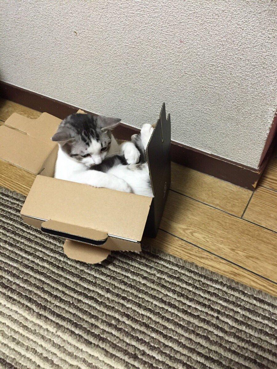 これは、自分がまだ小さいつもりでダンボールに入る猫です