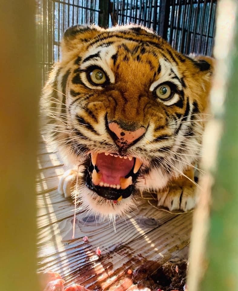 同じベンガルトラなんですけどね。。。#那須サファリパーク #ベンガルトラ #tiger  #ボルタ #ラブ #ゴールデンタビータイガー