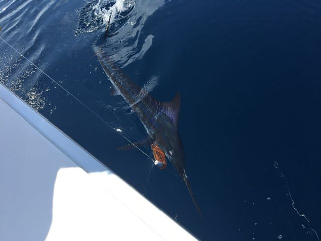San Jose del Cabo, MX -  Reelynn released a Grand Slam with a Striped Marlin, Black Marlin and 2 Blue Marlin.