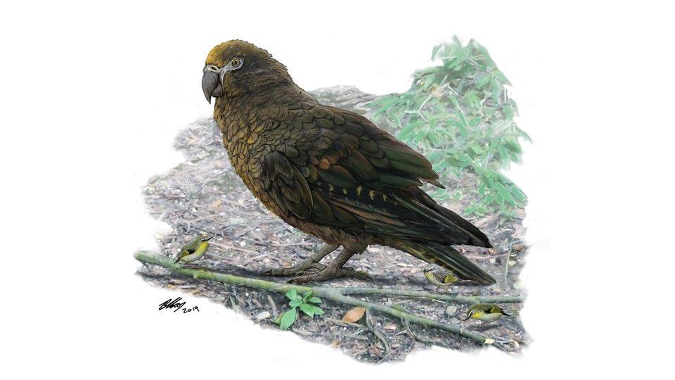 【恐い】太古には身長0.9mのオウムがいたことが判明‼︎1600万〜1900万年前のニュージーランドには、身長0.9mで体重が7kgの巨大オウムが生息していたことが判明。巨大オウムにお喋りさせると、どんな声なのだろうか。