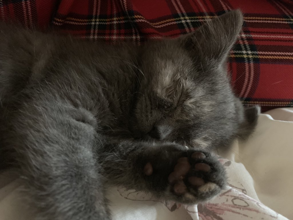 Soft kitty. Warm kitty, little ball of fur. Happy kitty, sleepy kitty, purr, purr, purr. #NewKitten #TheNewBatch #BritishShorthair #LittleBigCat #AdventuresOfPepper<br>http://pic.twitter.com/eQK7H8ytHE