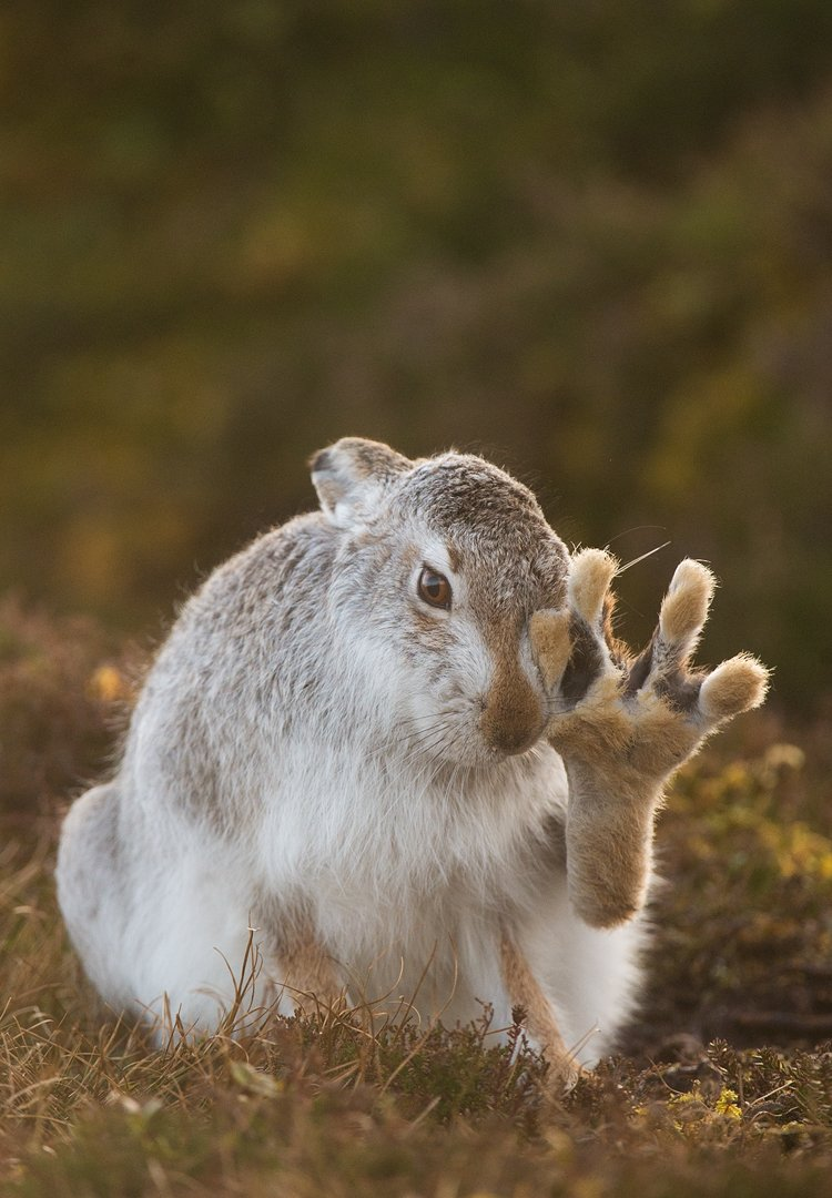 Thousands of mountain hares are killed each year in the name of driven grouse shooting . Help @WildJustice_org  end this slaughter by signing the petition to ban driven grouse shooting . https://petition.parliament.uk/petitions/266770…  Please RT.   Mountain hare images by https://www.instagram.com/andyparkinsonphoto/…