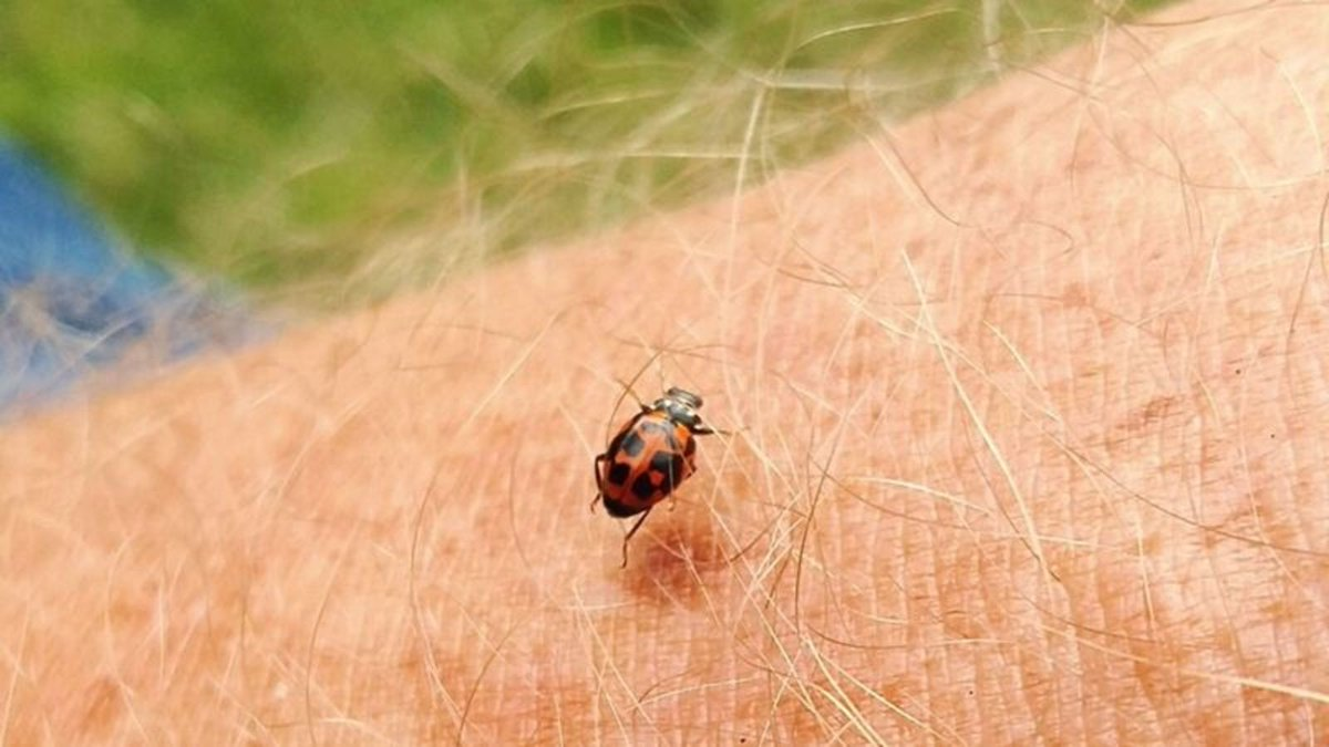 Threat Level Downgraded As Insect Revealed To Be Ladybug https://trib.al/WqMpebv