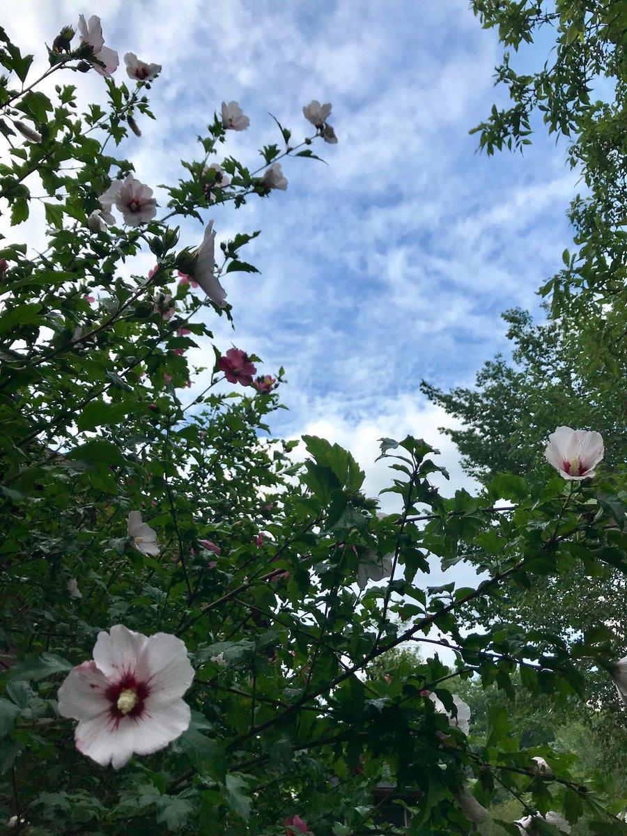 #HappySaturday, friends. Here's a bloom-strewn morning sky. #RoseofSharon #FlowerReport<br>http://pic.twitter.com/N83RH5zQ6Y