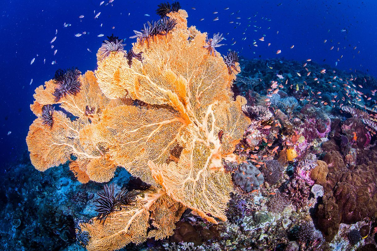 Where does #coral get its color? Generally, their brilliant hues come from the tiny algae living inside their tissues. The pigments the algae produces are seen through the clear body of the polyp and are what give coral its color. @coral_org ( Erik Lukas/Coral Reef Image Bank) <br>http://pic.twitter.com/oA7ShboqbE