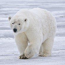 All polar bears are left-handed.