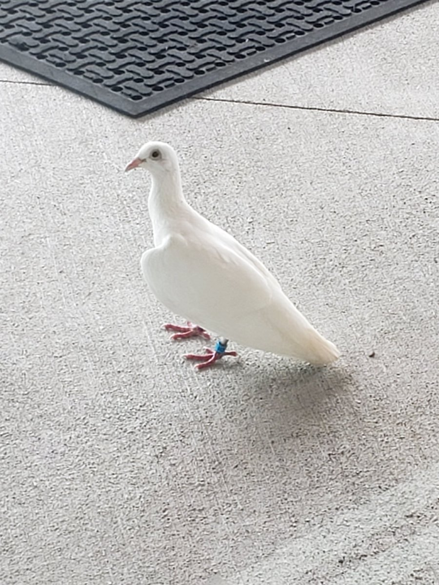 Is anyone missing a banded <a target='_blank' href='http://search.twitter.com/search?q=dove'><a target='_blank' href='https://twitter.com/hashtag/dove?src=hash'>#dove</a></a> in <a target='_blank' href='http://twitter.com/ArlingtonVA'>@ArlingtonVA</a>? <a target='_blank' href='http://twitter.com/MrReevesDES'>@MrReevesDES</a> & <a target='_blank' href='http://twitter.com/lgbr8218'>@lgbr8218</a> saw this fine feathered friend appear outside of <a target='_blank' href='http://twitter.com/DiscoveryAPS'>@DiscoveryAPS</a> about 2:45 on Saturday! <a target='_blank' href='http://search.twitter.com/search?q=wedding'><a target='_blank' href='https://twitter.com/hashtag/wedding?src=hash'>#wedding</a></a> <a target='_blank' href='https://t.co/tfCvGKBRoF'>https://t.co/tfCvGKBRoF</a>