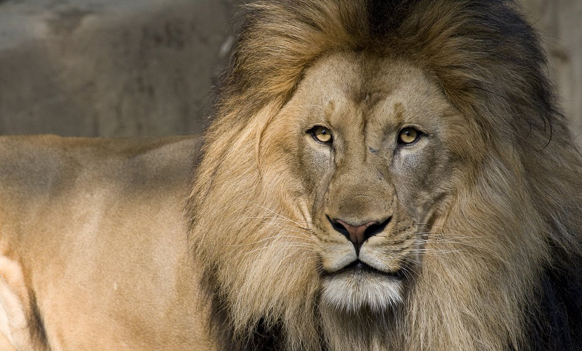 The muzzle of a lion is like a fingerprint; no two lions have the same pattern of whiskers.