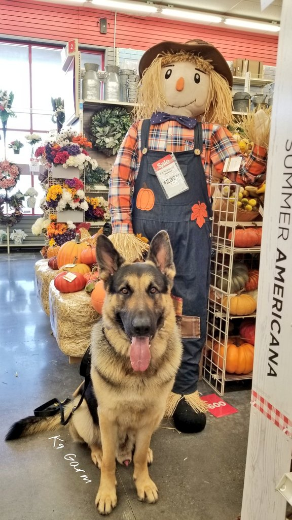 Keeping the mind of the #moosedog busy while his body needs rest with a trip to Michael's. A short slow walk about the #autumn decor is just what the doctor ordered  #K9Garm #SARK9 #dogsoftwitter #dog #dogs #germanshepherd #gsd #FaMoose<br>http://pic.twitter.com/Ai6gtd2E1w