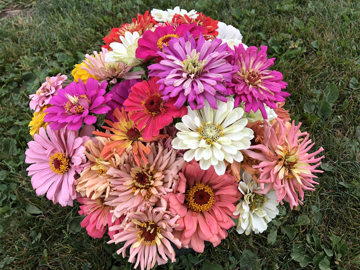 As promised we have some fresh cut #zinnia bouquets for you in the#farmstand.  We also still have some beautiful #sunflower bouquets  & some surprise #spaghettisquash!   #smallfarm #farmdirect #local #natural #mapleridge #buybc #bcbuylocal #bcfarmfresh #flowers https://t.co/orvUMa9pmH