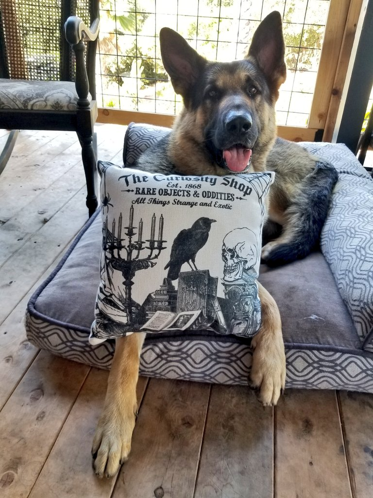 Home now to rest, but not empty handed. We scored a spooky pillow  Our home is named Raven's Loft, so we are suckers for things like this  #K9Garm #SARK9 #dogsoftwitter #dog #dogs #germanshepherd #gsd #moosedog #FaMoose <br>http://pic.twitter.com/yNzSlJYLBZ